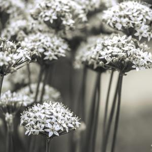 Allium Cluster by Assaf Frank