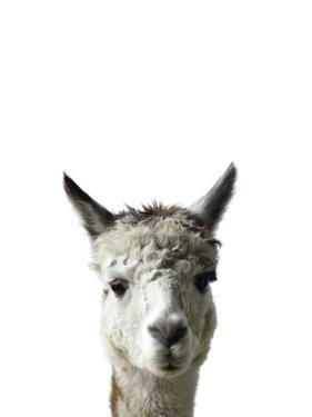 Amicable Alpaca by Assaf Frank