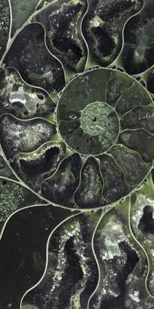 Ammonite - Volute by Assaf Frank