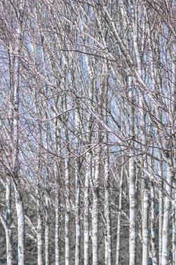 Birch Thicket by Assaf Frank