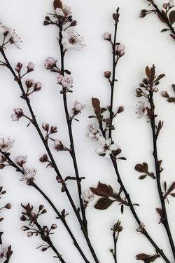 Burgeoning Blossom by Assaf Frank