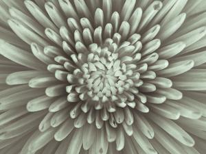 Chrysanthemum Floral by Assaf Frank