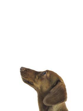 Curious Canine by Assaf Frank