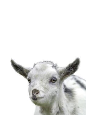 Gentle Goat by Assaf Frank