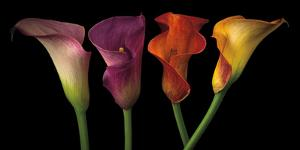 Jewel Calla Lilies by Assaf Frank