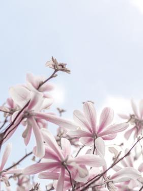 Magical Magnolias by Assaf Frank