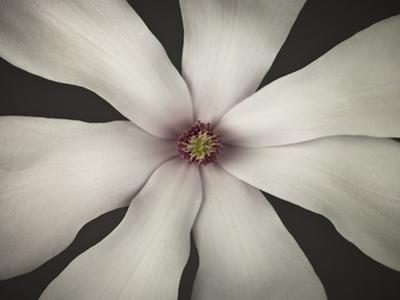 Magnolia Focus