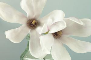 Magnolias by Assaf Frank