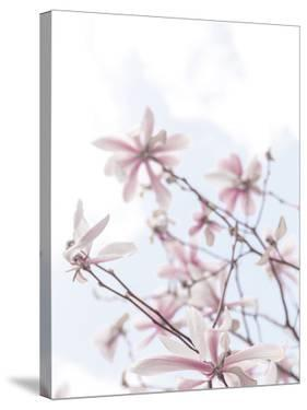 Mystical Magnolias by Assaf Frank