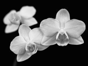 Orchid Grandeur by Assaf Frank