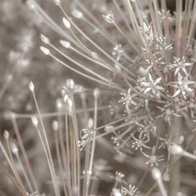Silver Alliums by Assaf Frank