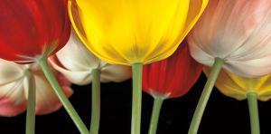 Sunshine Tulips by Assaf Frank