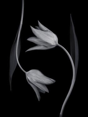 Tulip Tango - Duet by Assaf Frank