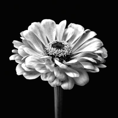 Zinnia Floral - Noir