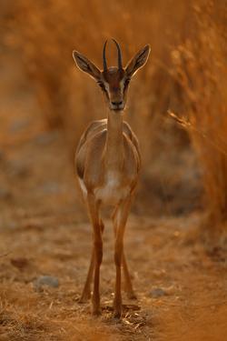 Gazella Portrait by Assaf Gavra