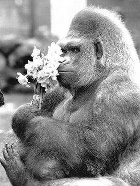 Gorilla with Flowers by Associated Newspapers