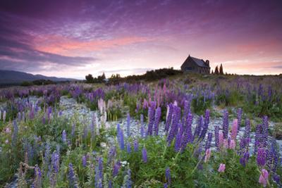 Summer Lupins at Sunrise at Lake Tekapo, NZ by Atan Chua