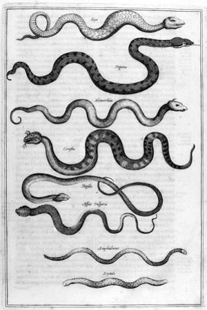 Serpents, 1675 by Athanasius Kircher