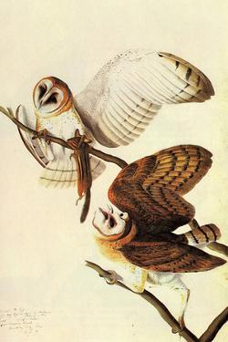 Audubon Barn Owl Bird