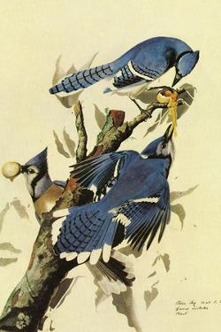 Audubon Blue Jay Bird