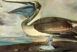 Audubon Brown Pelican Bird Art Poster Print