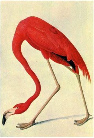 Audubon Flamingo Bird Art Poster Print