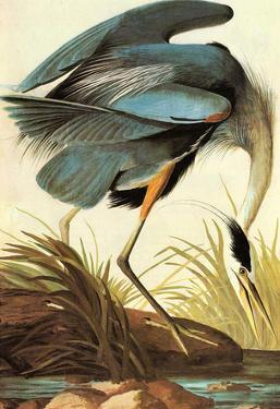 Audubon Great Blue Heron Bird Art Poster Print