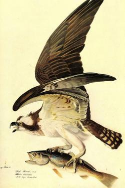 Audubon Osprey Bird