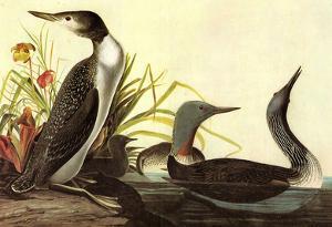Audubon Red-Throated Loon Bird Art Poster Print