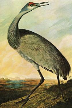 Audubon Sandhill Crane Bird