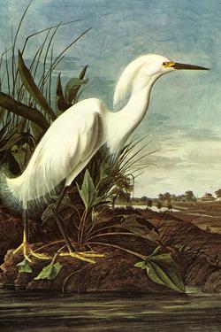 Audubon Snowy Egret Bird