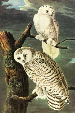Audubon Snowy Owl Bird Plastic Sign