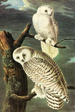 Audubon Snowy Owl Bird
