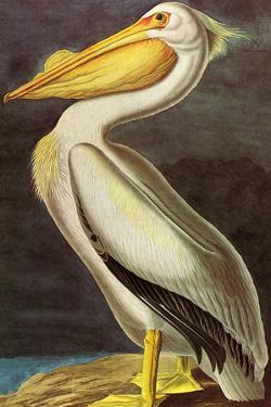 Audubon White Pelican Bird