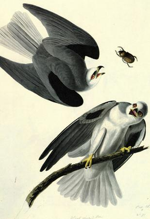 Audubon White Tailed Kite Bird Art Poster Print