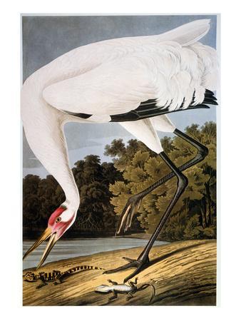 https://imgc.allpostersimages.com/img/posters/audubon-whooping-crane_u-L-PFDDXC0.jpg?artPerspective=n