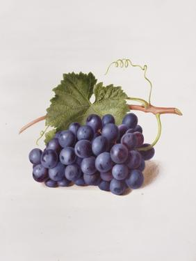 Fruit of the Vine, 1868 by Augusta Innes Withers
