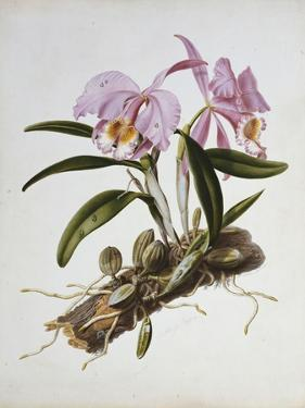 Orchidaceae : Cattleya Mossiae by Augusta Withers