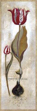 Tulipa Violoncello III by Augustine
