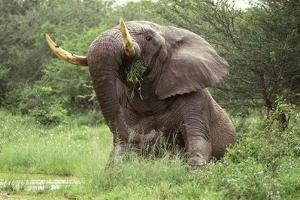 African Elephant Sitting in the Middle of The by Augusto Leandro Stanzani