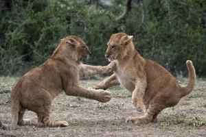 African Lion Cubs Play-Fighting by Augusto Leandro Stanzani