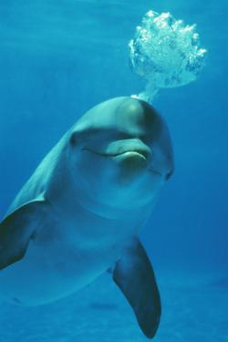 Bottlenose Dolphin Blows Bubbles from Blow Hole by Augusto Leandro Stanzani
