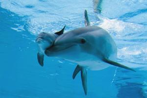 Bottlenose Dolphin Recently Born Calf Swims with Mother by Augusto Leandro Stanzani