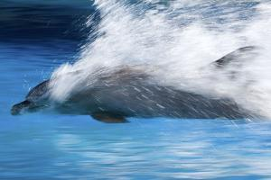 Bottlenose Dolphin Swimming at Speed Through Water by Augusto Leandro Stanzani