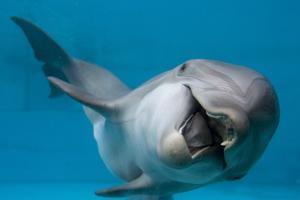 Bottlenose Dolphin Swimming on Side Underwater by Augusto Leandro Stanzani