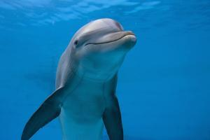 Bottlenose Dolphin Swimming Underwater by Augusto Leandro Stanzani