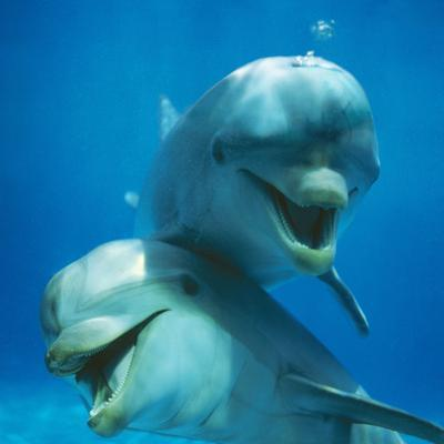 Bottlenose Dolphin Two Facing Camera by Augusto Leandro Stanzani