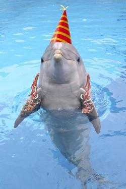 Bottlenose Dolphin with Party Hat and Streamers by Augusto Leandro Stanzani