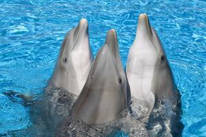Bottlenose Dolphins, 3 Together with Noses Out of the Water by Augusto Leandro Stanzani
