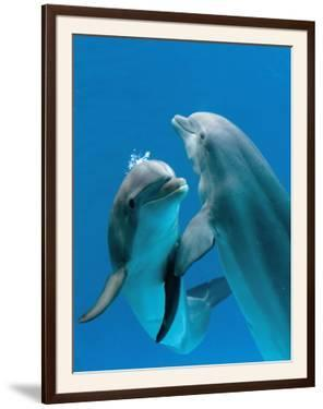 Bottlenose Dolphins, Pair Dancing Underwater by Augusto Leandro Stanzani